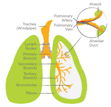 lung-anatomy.PNG